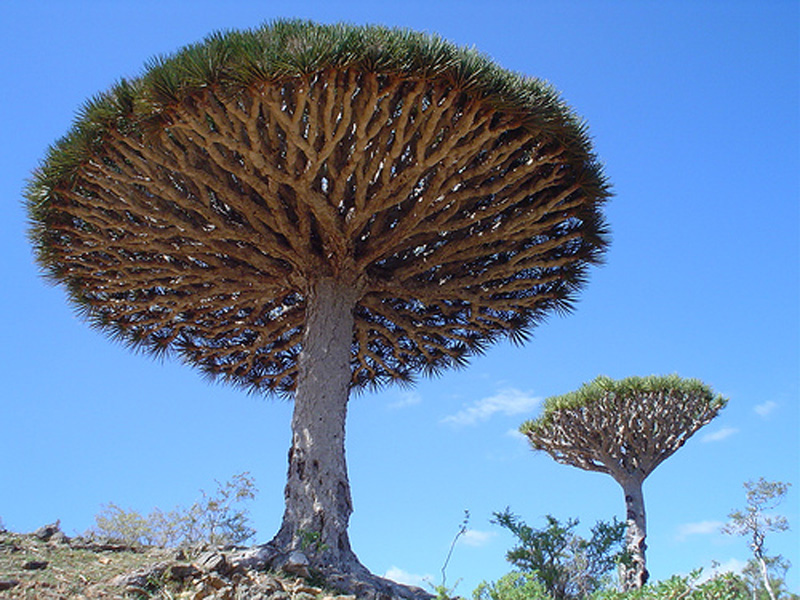 A group of Dragon Blood Trees.