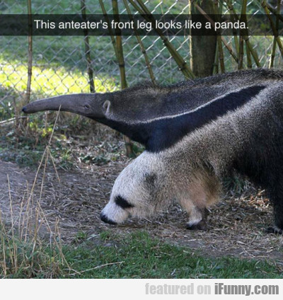 This Anteater's Front Leg Looks Like A Panda