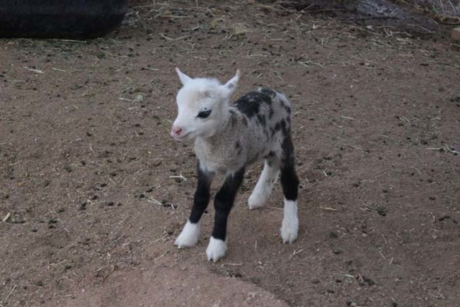 Butterfly is the adorable offspring of a sheep and a pygmy goat.