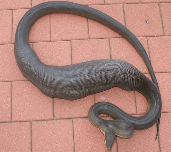 Cat-in-snake-phobia:  Similar to ophidiophobia, which is fear of snakes, except this is where you're afraid your cat is constantly  in danger of being swallowed whole by a boa.