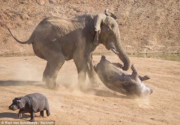 Luckily, although the fight looks bad, the hippo walked away with merely a scratch.
