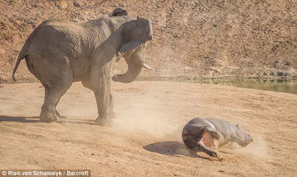 An elephant bull charged the momma hippo and her young.