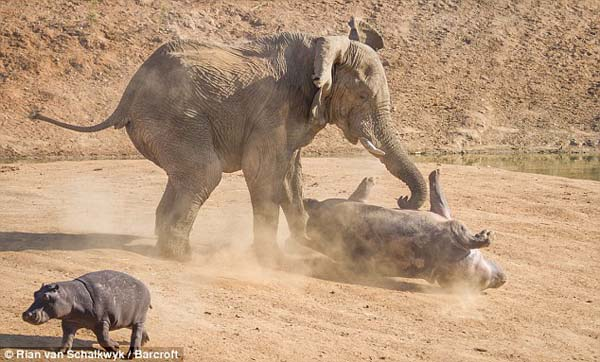 The mother bravely defended her baby. The bull flipped her with his trunk.