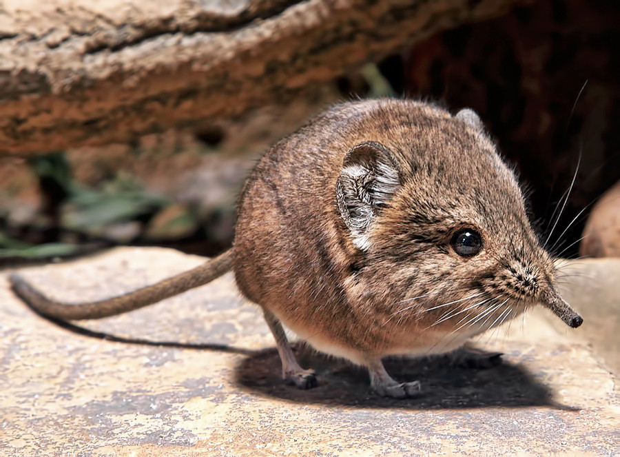 It's the smallest of 19 known sengi breeds.