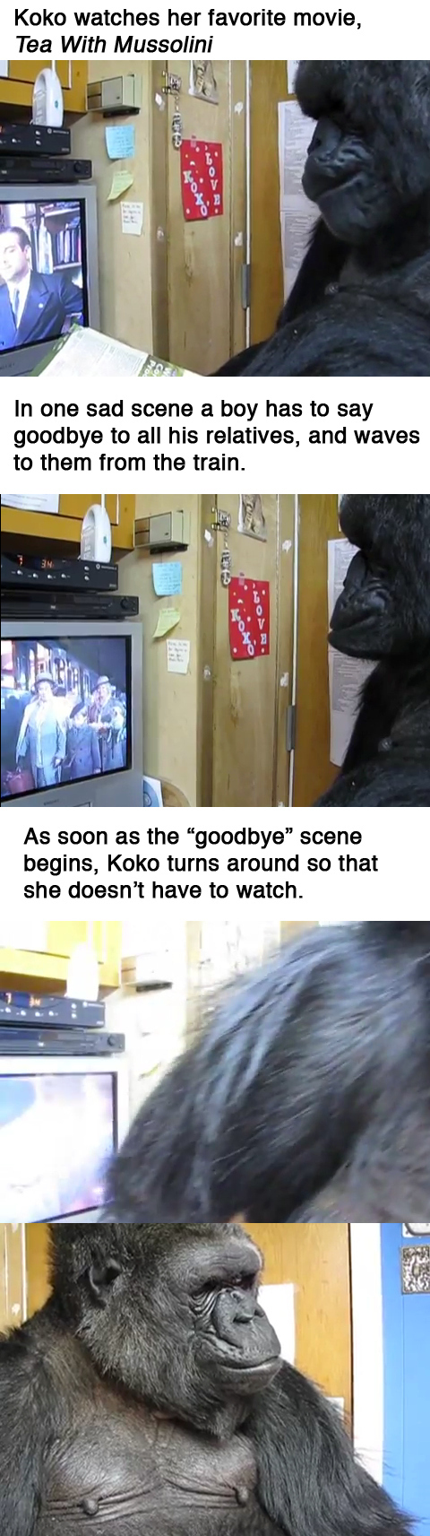9. Koko the Gorilla watches her favorite movie and the result is a tear jerker.