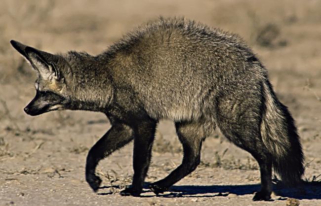 2.) The Sly Fox