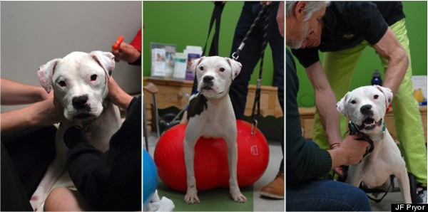 Now, 2 months after being cared for at the rescue, Thor is almost unrecognizable. He has been fitted with a wheelchair, gets round-the-clock love and is taken to therapy.