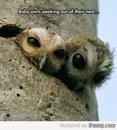 Baby Owls Peeking Out Of Their Nest...