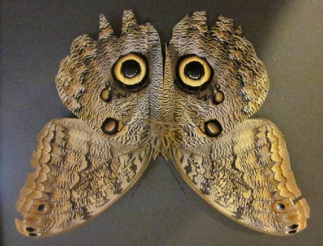 2.) A butterfly cleverly disguised as an owl.
