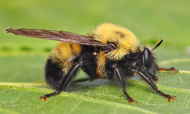 7.) Oh no, a bumblebee! Sike, it's just a fly.