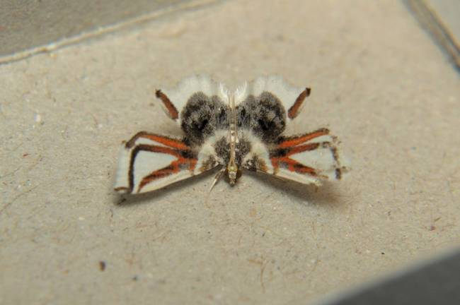 6.) This moth could be mistaken for a spider any day.