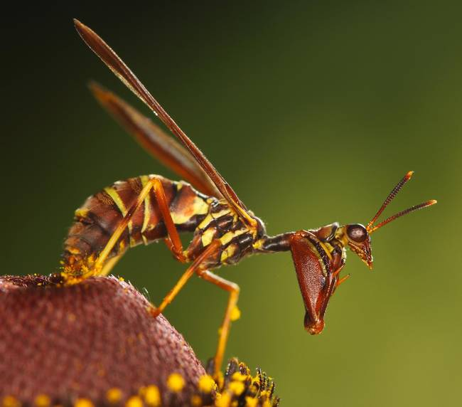 5.) A mantis trying its best to look like a wasp.