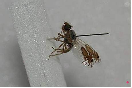 13.) This fly looks like it has two spiders in its wings. Insane.