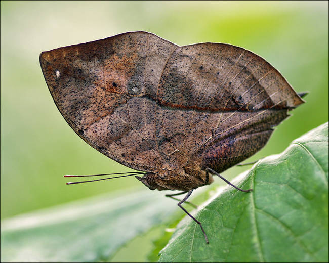 12.) This butterfly looks like a dead leaf.