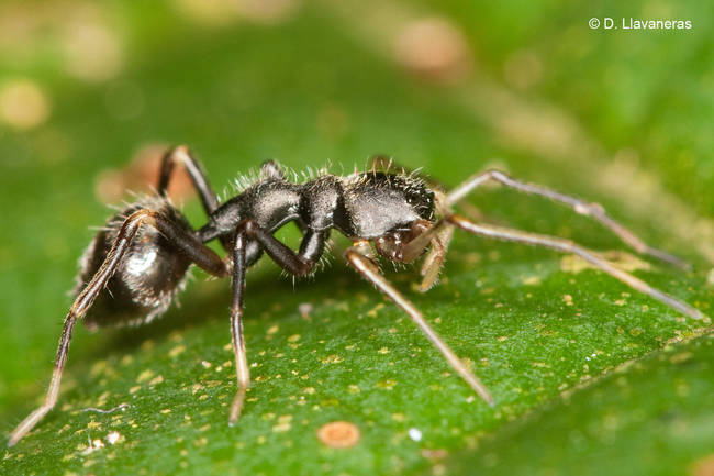 14.) A spider tricking its prey that it's an ant.