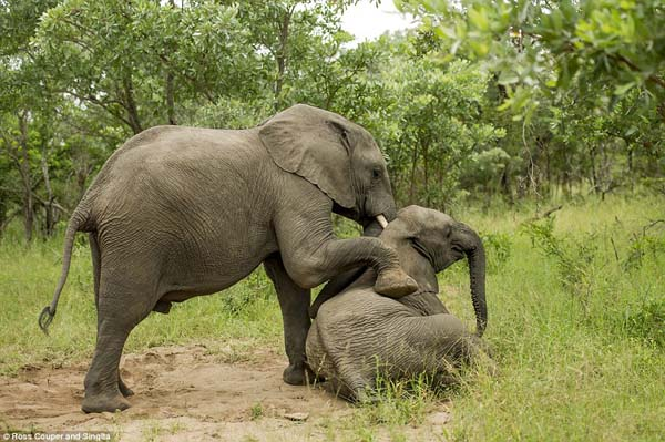 A field guide named Ross Couper discovered the drunk elephants.