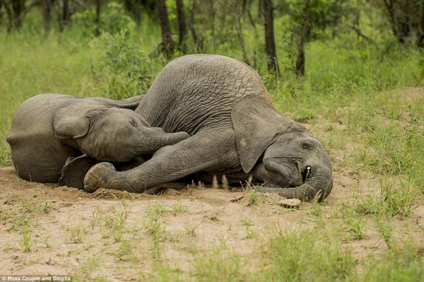 After eating the fermented fruit, the young elephants were inebriated.
