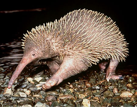 4. Long-Beaked Echidna - Found in New Guinea, these guys, along with the platypus, are the only two types of mammals that lay eggs.
