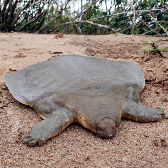 7. Pelochelys Cantorii (Cantor's Giant Soft-Shelled Turtle) - This super pancake looking turtle can grow up to 6 feet long and weigh 100lbs!