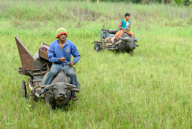 12.) Water Buffalo - Thailand, Philippines, Vietnam