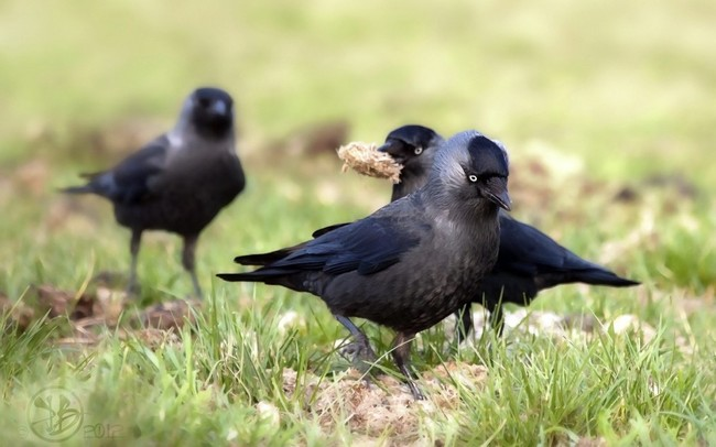 6.) Crows are actually super smart. They even play pranks on each other just for fun.