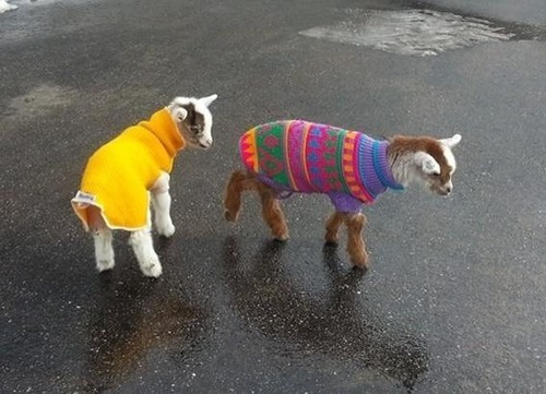 3.) Studies have shown that goats have accents. Also they look adorable in sweaters.