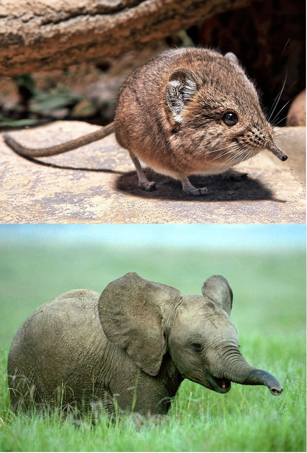 10.) Elephant shrews are actually closely related to elephants.