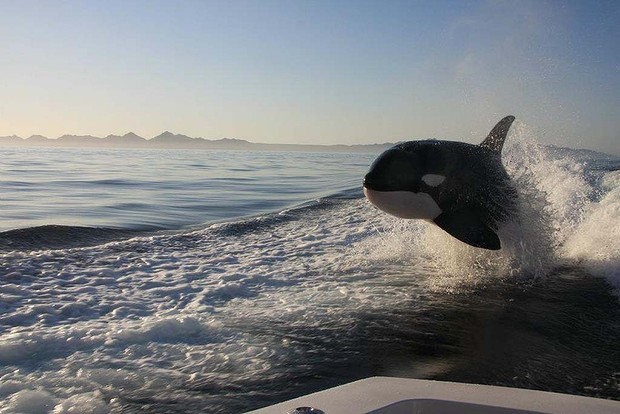 16.) Killer whales are actually a species of dolphin.