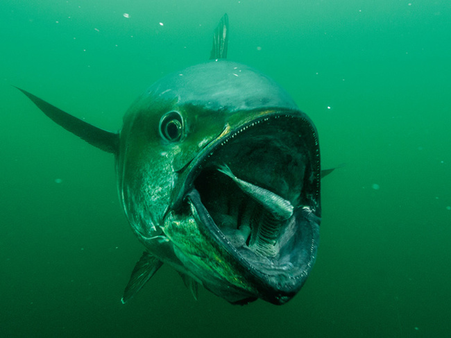 19.) A tuna can swim up to 40 miles in one day.