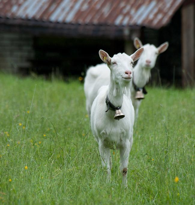 20.) Goat's milk has more calcium than cow's milk.