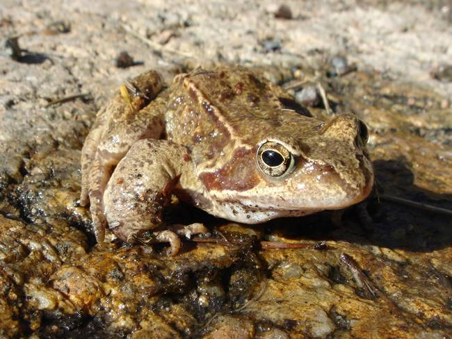 26.) Frogs absorb water through their skin.