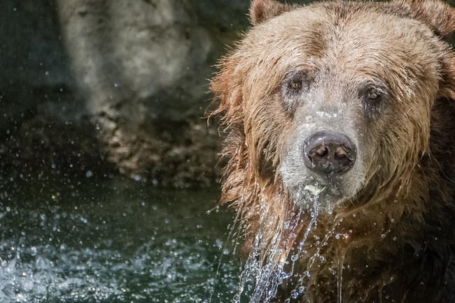 29.) Adults bears can run as fast as horses.