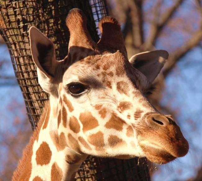 27.) Instead of greying, giraffes fur darkens as they age.
