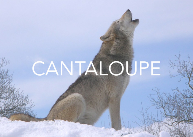 "This is a weird one. Cantaloupe melons take their name from Cantalupo. This was an ancient papal estate on the outskirts of Rome where the first European cantaloupes were grown in the early Middle Ages. However, Cantalupo took its name from the Latin words cantare (""to sing"") and lupus (""wolf""). We have a feeling the people in Cantalupo heard lots of howling wolves."