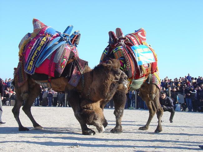 6.) Camel wrestling: Like toe wrestling, but definitely smellier.